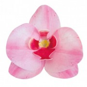 orquideas obreia rosa